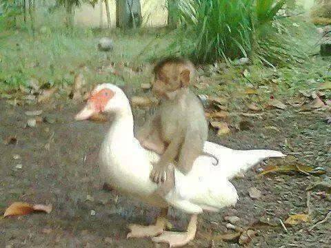 duck and monkey best friends