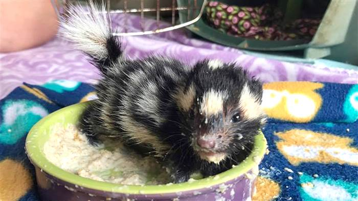 orphaned spotted skunk babies