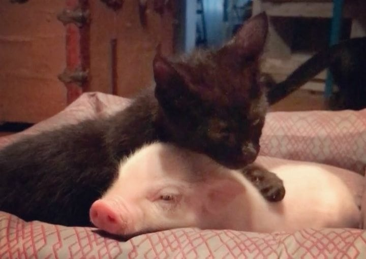 piglet and kitten