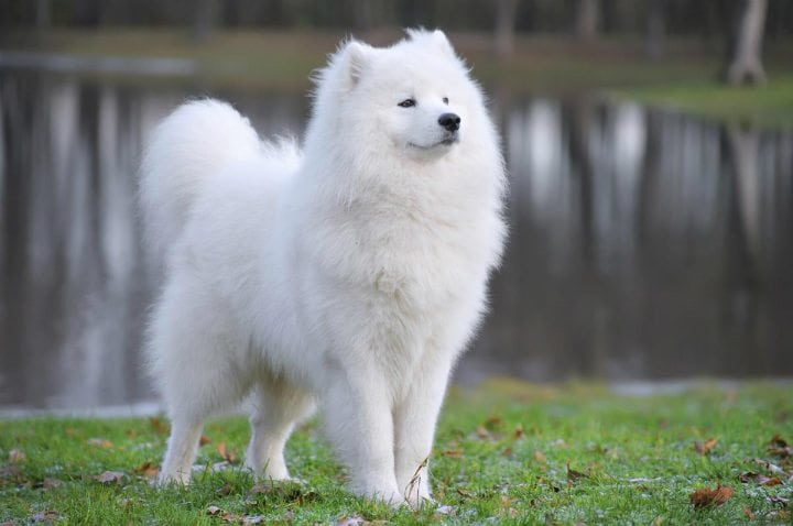 samoyed unique cute dog