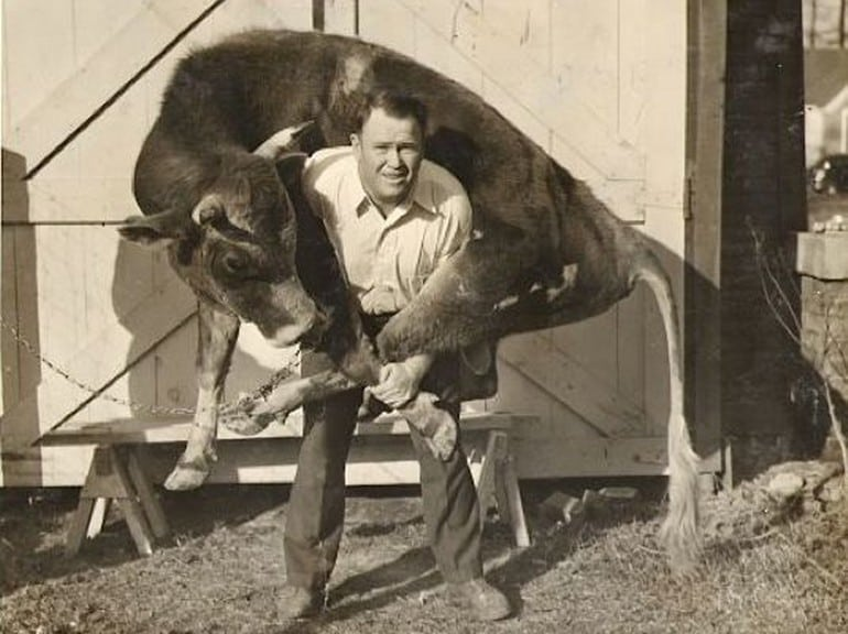strongman weight lifter louis cyr cow